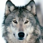 Wolves Forsaken By Wildlife Agencies, Hunters and Ranchers