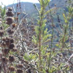 Self-Healing with Chumash Native Plant Medicine