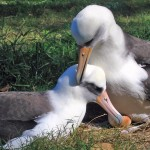 Midway Atoll: The Plastic Plight of the Albatross – By Jack Eidt