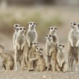 The BaVenda (also known as Venda), a Bantu tribe living in Southern Africa, tell a traditional myth about how the meerkat gave all the animals their special colors.