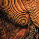 Music of the Tree Rings: Sound of a Wild Forest