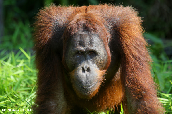 Borneo, orangutan, Indonesia, Palm oil