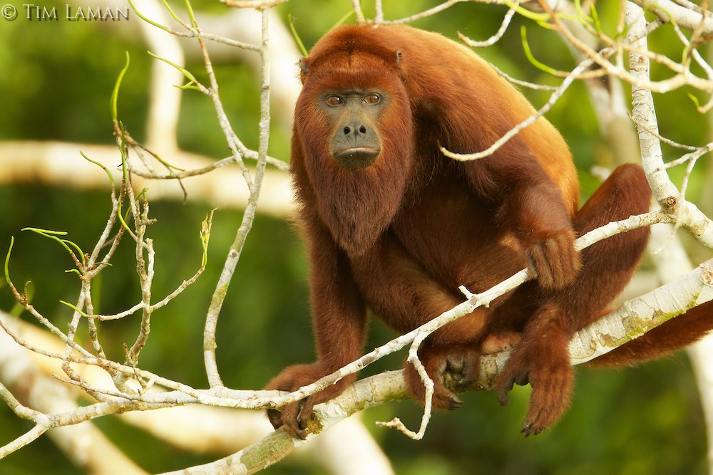 Tim Laman, Red Howler Monkey, Ecuador, Yasuni National Park