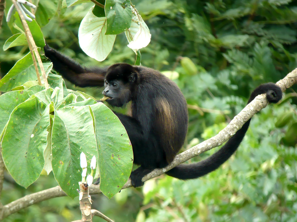 howler monkey, Central America