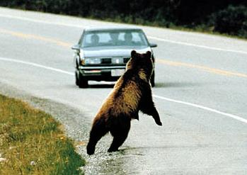 grizzly bear conservation, Northern Rocky Mountains